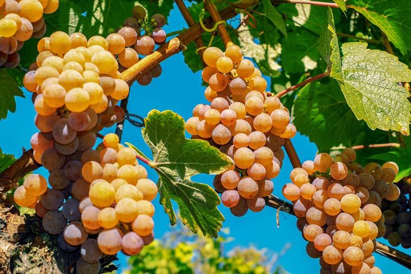 Geltonos vynuoges