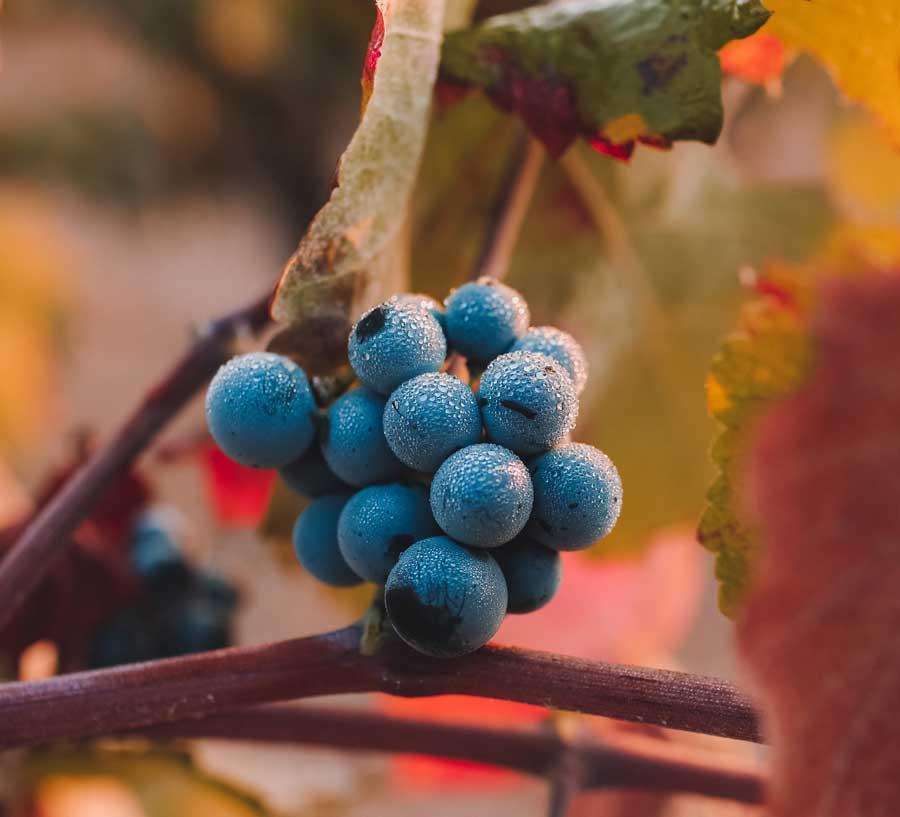 portugališkas vynas
