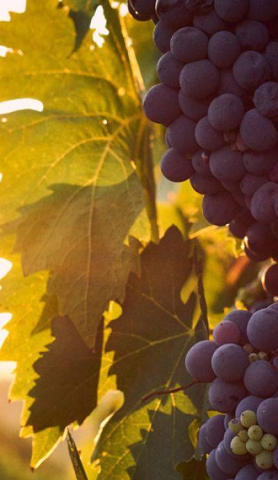 Vynuoges