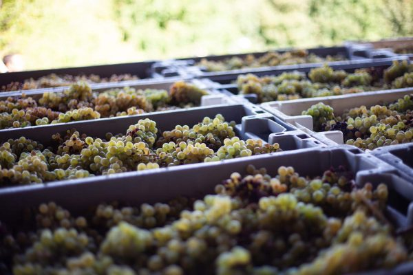 baltas vynas derlius