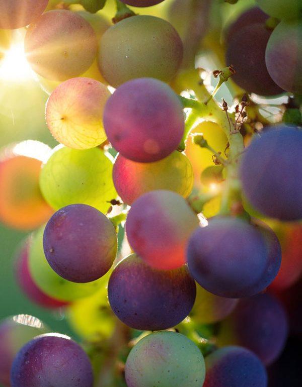 vyno rugstingumas
